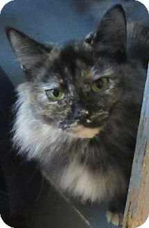 Domestic Longhair Cat for adoption in Port Jervis, New York - Trina