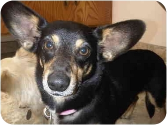 Images Of Elizabeth A Female Miniature Pinscher Mix Dog From Rescue ...