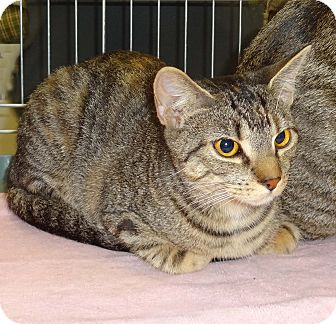 Domestic Shorthair Kitten for adoption in N. Billerica, Massachusetts - Jenny