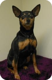 Miniature Pinscher Mix Dog for adoption in Gary, Indiana - Lucy