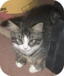 Maine Coon Kitten for adoption in Colorado Springs, Colorado - K-Leonard4-Joey