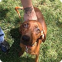 Adopt A Pet :: Red - Hop Bottom, PA
