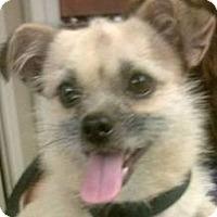 Adopt A Pet :: Lil Dude - Sugar Land, TX