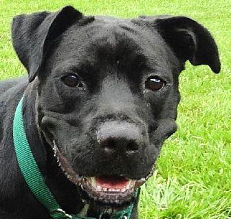 Labrador Retriever/Boxer Mix Dog for adoption in Sarasota, Florida - Sandler