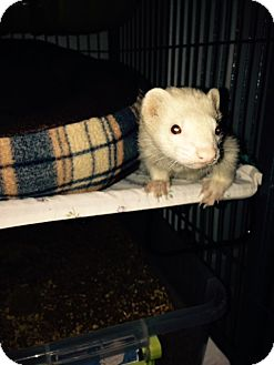 Ferret for adoption in Navarre, Florida - Peg Leg Pete