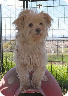 Maltese Mix Dog for adoption in San Pablo, California - ISABELLA