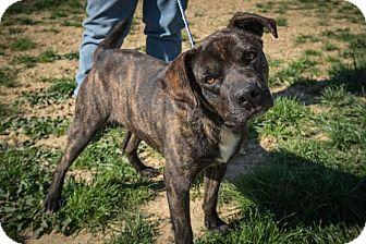 Boxer/Labrador Retriever Mix Dog for adoption in Jasper, Alabama - Sammy
