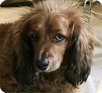 Dachshund Dog for adoption in Portland, Oregon - Ms PIGGY