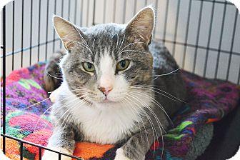 Domestic Shorthair Cat for adoption in Lincoln, Nebraska - Hamilton