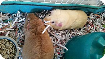 Guinea Pig for adoption in Greenfield, Indiana - Gabriel and August