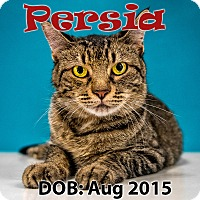 Domestic Shorthair Cat for adoption in Chandler, Arizona - Persia