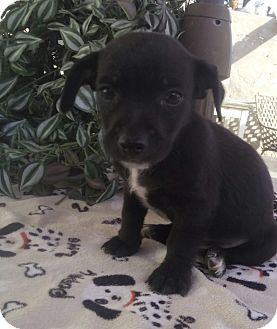 Border Collie/Cairn Terrier Mix Puppy for adoption in San Diego, California - Pepper