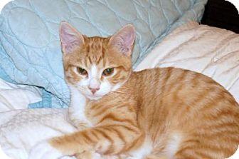 Domestic Shorthair Kitten for adoption in Philadelphia, Pennsylvania - Goldie