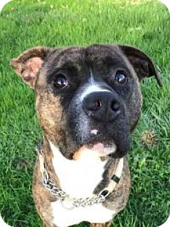 American Staffordshire Terrier Mix Dog for adoption in Clackamas, Oregon - Brutus