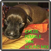 Adopt A Pet :: CHLOE - Pomfret, CT