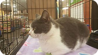 American Shorthair Cat for adoption in Griffin, Georgia - Tally