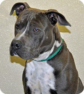 Pit Bull Terrier Dog for adoption in Port Washington, New York - Goomba
