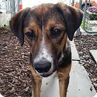 Labrador Retriever/Shepherd (Unknown Type) Mix Dog for adoption in Wilkes Barre, Pennsylvania - Rocky