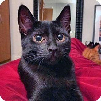 Domestic Shorthair Kitten for adoption in Mississauga, Ontario, Ontario - Hakuho