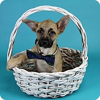 Adopt A Pet :: Major - Joliet, IL