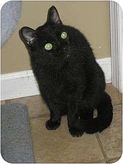 Domestic Shorthair Cat for adoption in Bloomsburg, Pennsylvania - Bijou