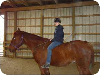 Tennessee Walking Horse for adoption in Marengo, Ohio - Bo