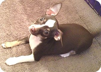 Chihuahua Puppy for adoption in Orlando, Florida - Chispy#2M