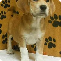 Adopt A Pet :: Tugger - Gary, IN