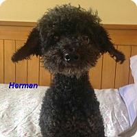 Adopt A Pet :: Herman - Mississauga, ON