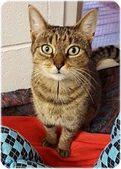 Domestic Shorthair Cat for adoption in Huntington, New York - Autumn