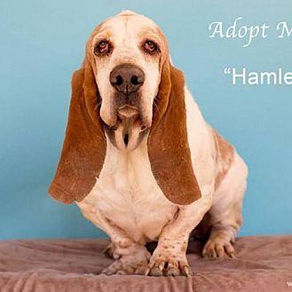 Basset Hound Mix Dog for adoption in Acton, California - Hamlet