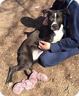 Pit Bull Terrier Mix Dog for adoption in Richmond, Virginia - Cassie **CGC Ready**