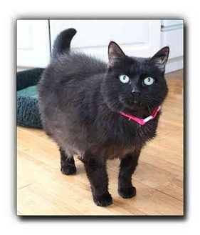 Domestic Shorthair Cat for adoption in Howell, Michigan - Missy