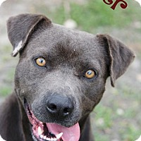 Labrador Retriever Mix Dog for adoption in Livingston, Louisiana - Piper