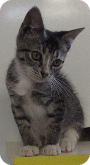 Domestic Shorthair Kitten for adoption in Jackson, Missouri - STINKER