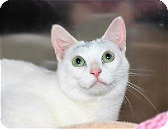 Domestic Shorthair Cat for adoption in San Luis Obispo, California - Alice
