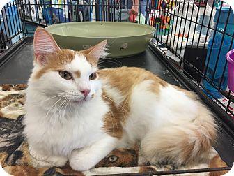 Domestic Mediumhair Cat for adoption in Sterling Hgts, Michigan - Julius
