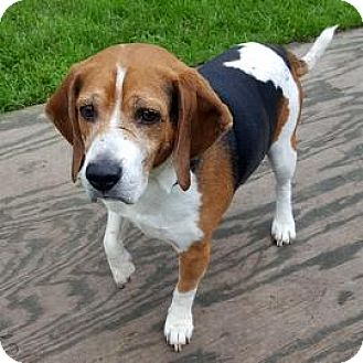 Beagle Mix Dog for adoption in Janesville, Wisconsin - Ranger