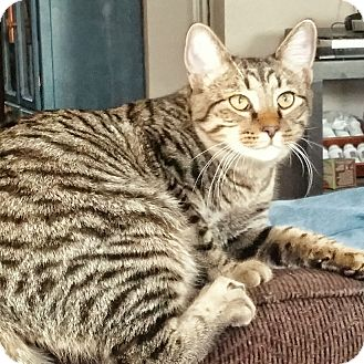 Domestic Shorthair Kitten for adoption in Arlington/Ft Worth, Texas - Rocket
