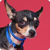 Chihuahua Mix Dog for adoption in Pt. Richmond, California - CHARLOTTE