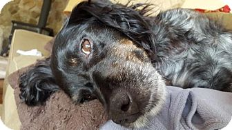 Brittany Dog for adoption in Atlanta, Georgia - VA (MI)/Cooper