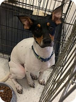 Rat Terrier Mix Dog for adoption in Manchester, Connecticut - Sly in CT