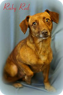 Dachshund Mix Dog for adoption in Columbia, Tennessee - Ruby Red