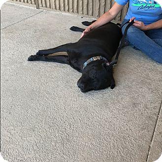 Labrador Retriever/Chow Chow Mix Dog for adoption in Spring, Texas - Shadow
