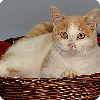 Domestic Shorthair Cat for adoption in Gatineau, Quebec - George