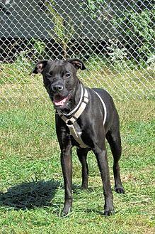 Boxer/Labrador Retriever Mix Dog for adoption in Batavia, Ohio - Luna