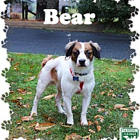 Adopt A Pet :: Bear - Fallston, MD