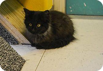 Domestic Longhair Kitten for adoption in Pittsburg, Kansas - Fred Flintstone
