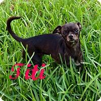 Chihuahua Dog for adoption in Hialeah, Florida - Titi