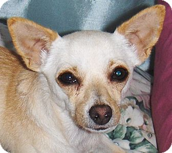 Chihuahua Mix Dog for adoption in Glendale, Arizona - Buttercup